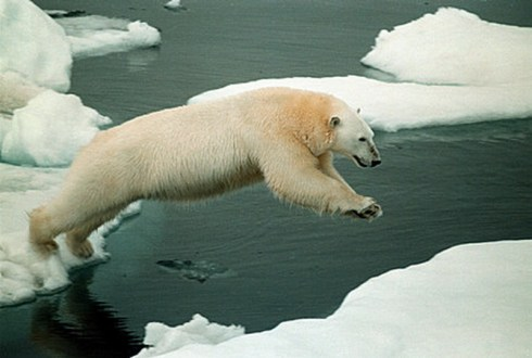 Polar bear on iceflow, Chuckchi Sea.