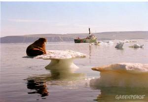 Walrus on iceflow; Greenpeace tour investigating climate change effects, Chukchi Sea, Alaska.
