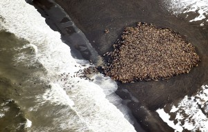 ALASKA GLOBAL WARMING WALRUSUS THOUSANDS