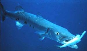 baracuda eating fish