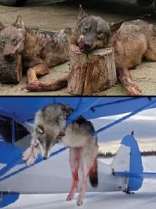 palin wolves