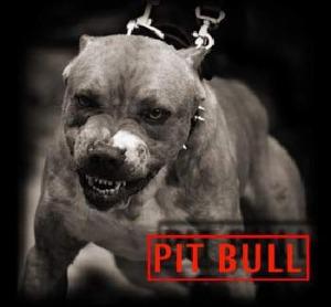 pit bull 1