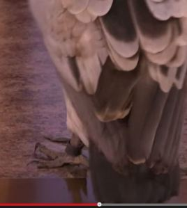 vulture claws