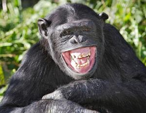 monkey laughing