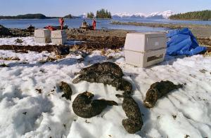 dead-sea-otters-exxon-valdez-oil-spill